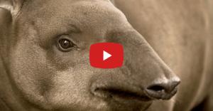 【衝撃映像】地上最大級のペニスを持つ生物「バク」【動画】